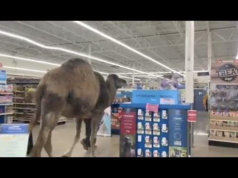 Bringing a Camel to PetSmart