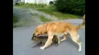 Пес пристает к коту