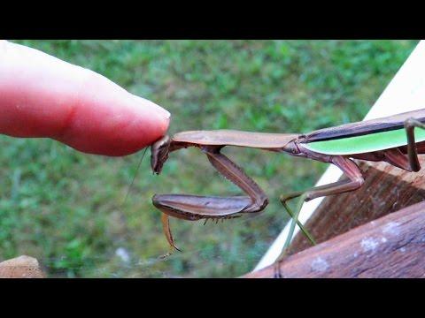 Petting A Praying Mantis - Extreme Close-Up