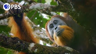 New Orangutan Species Filmed for First Time