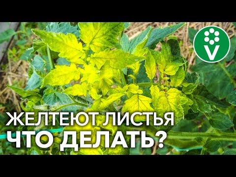 ЖЕЛТЕЮТ ЛИСТЬЯ У ТОМАТОВ? Главная причина и простое решение проблемы | растений | помидоры | томатов | рассада | помидор | листьев | лечение | хлороз | томаты | расса