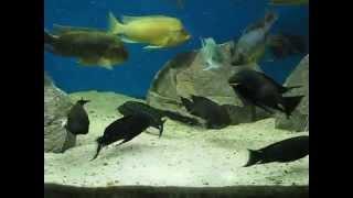 Gatunki roślinożerne z jeziora Tanganika - Petrochromis i Pseudosimochromis