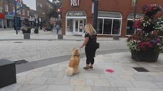 Japanese Akita Inu   Lulu   Dog Training in London
