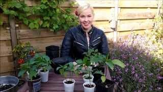 Urban Vegetable Garden: Pepper Growing Methods Comparison!