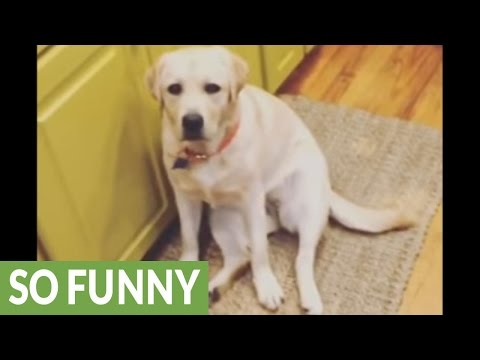 Labrador stalks owner's every single move