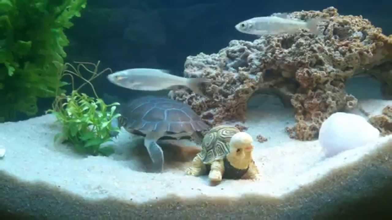 Tortue pelomedusa youtube for Aquarium tortue aquatique