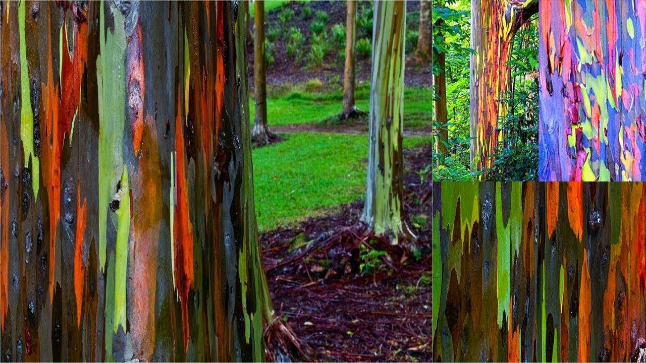 Colorful Rainbow Eucalyptus Trees in Australia | Strange and ...
