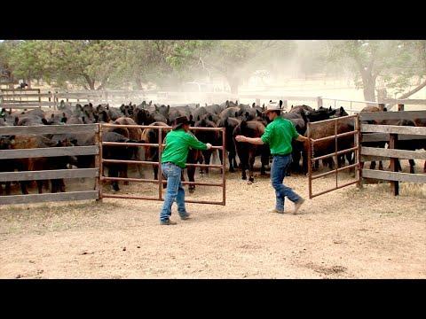 8. Best practice cattle handling