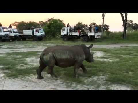 Relocating rhinos to safety - thanks to you!