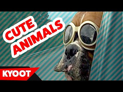 Funny Animals & Pets Videos of 2016 Weekly Compilation | Kyoot Animals