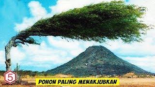Dari Pohon Pelangi Sampai Pohon Berdarah Naga , inilah Pohon Paling menakjubkan Di Dunia