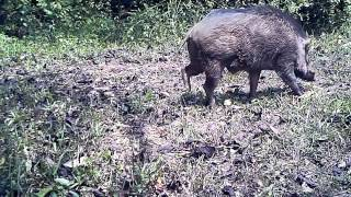 Wildlife Thailand - the pigs dilemma (tip: watch till end)