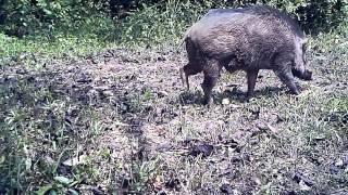 Wildlife Thailand - the pigs dilemma (tip: watch till end)