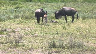 New born wildebeest at Ngorongoro Conservation Area (part 2)