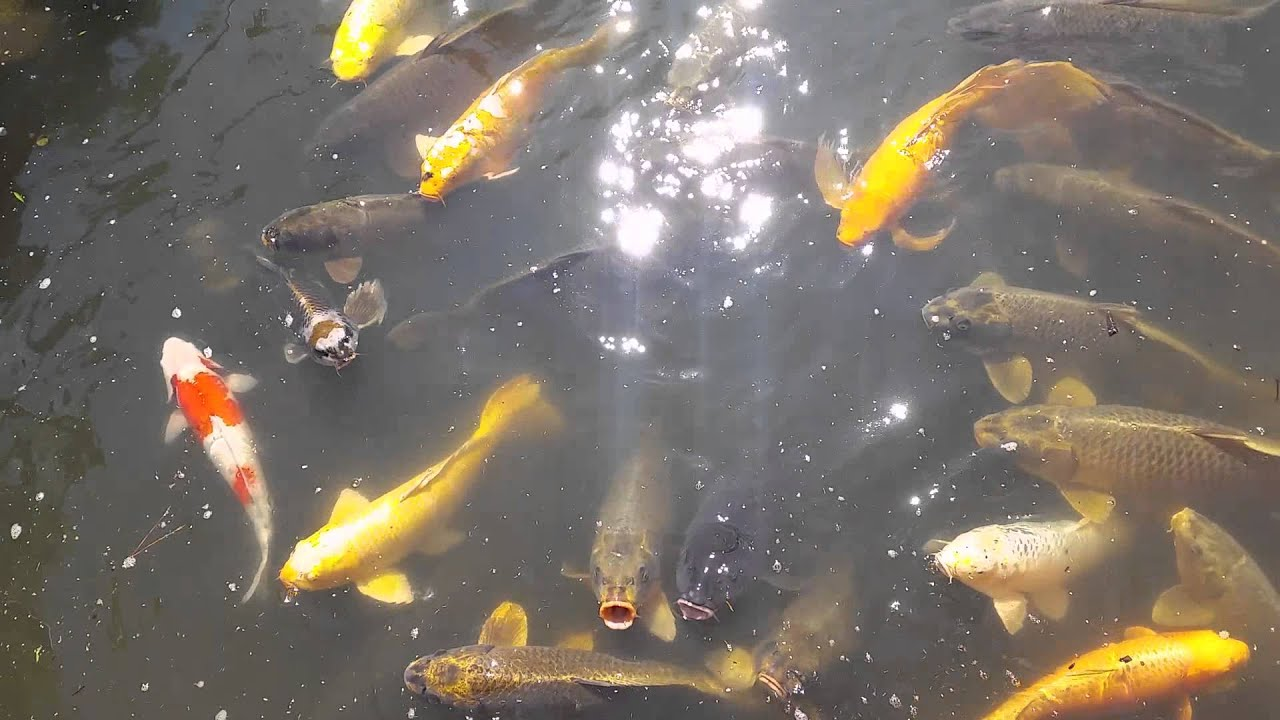 Koi pond at the Botanical Gardens in St Louis