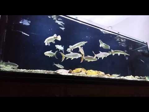 African TigerFish - Hydrocynus Vittatus & Goliath - Hikari Pellet Feeding [HD]