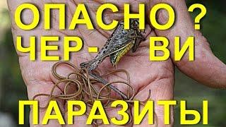 Опасно? Ужасные  черви – паразиты !