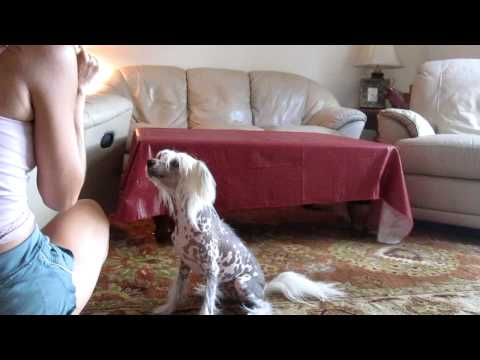 Positive Dog Training - Chinese Crested Dog Training