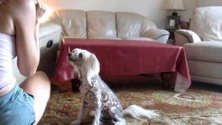 Positive Dog Training  Chinese Crested Dog Training