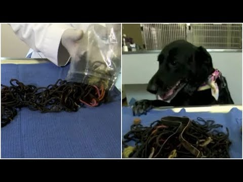 Why the black  Labrador lost her appetite and what the huge thing in her stomach was