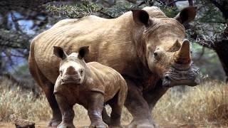 Czy wiesz jakiego odgłosy wydaje nosorożec? Dźwięki dzikich zwierząt