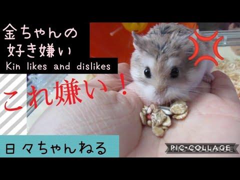 【これ嫌い!】金ちゃんの好き嫌い【ロボロフスキーハムスター】 Kin-chan's Likes And Dislikes Roborovski Hamster