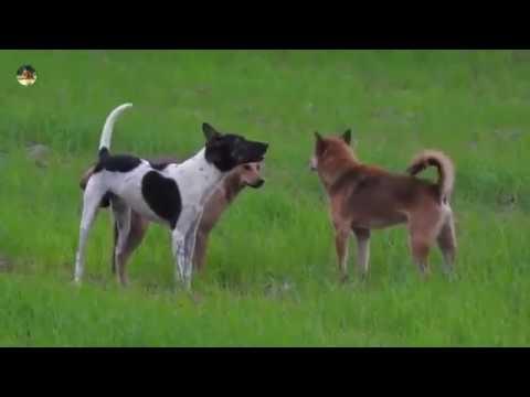Making Dog| my village dog power| The smart team matting on summer