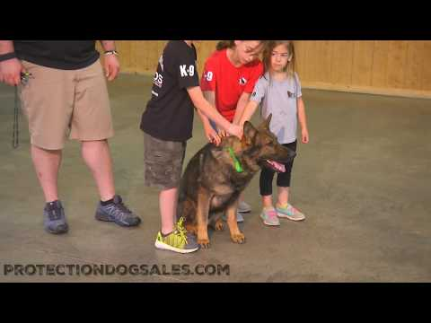Fun, Happy, Confident, Protective, Powerful 'Titan' 2 1/2 Yrs Personal Protection Dog For Sale