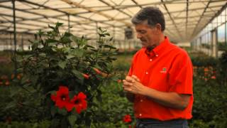 How to Overwinter a Hibiscus Tree : Garden Savvy