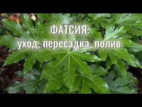 Вопрос: Скадоксус, что это за цветок, растение?