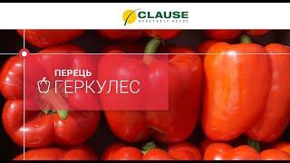 🌶️🌶️🌶️ Видеокаталог | Сладкий перец Геркулес F1 | семена HM Clause