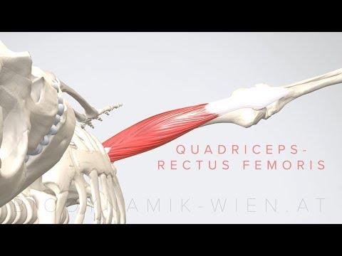 Quadriceps Rectus Femoris 4K Animation