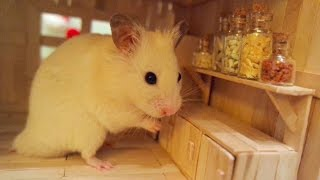 Vanilla the Syrian hamster exploring his popsicle stick house Check...