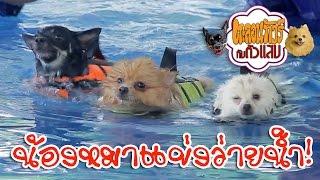 น้องหมาแข่งว่ายน้ำ ฮาระเบิด!! - ตะลอนทัวร์กับตัวแสบ - swimming championship!!!