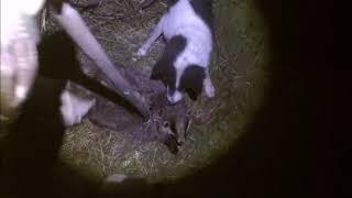 Ночная охота на барсука с собаками