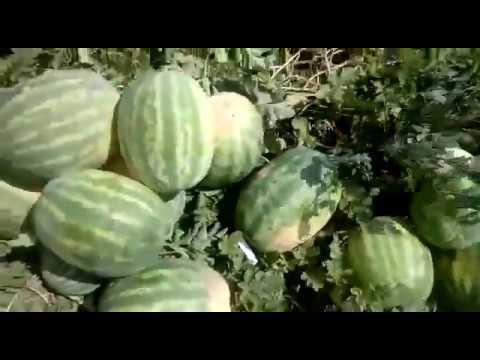 Суперсладкий арбуз Топ Мара F1 - YouTube