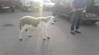 Mouton sardi marocain 2017