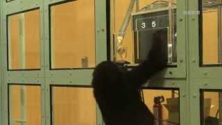京都市左京区の市動物園でニシゴリラの2歳の雄、ゲンタロウがタッチパ...