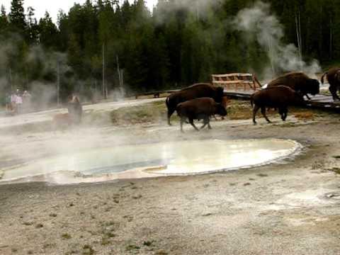 Buffalo crossing boardwalk at Old Faithful geyser basin, Yellowstone 2