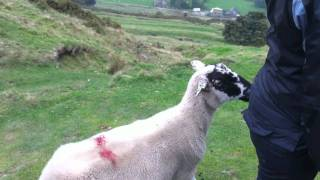 Sheep That Thinks It's A Dog