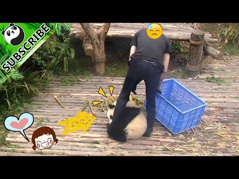 【PandaTop3】Needy panda tries to get nanny's attention | iPanda