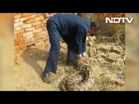 maestro captura con sus manos una piton de 24 kilos