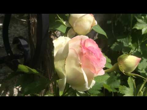 Rose Pierre de Ronsard de Meiviolin  Francis Meilland