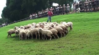 2009/6/17清境農場-牧羊犬趕綿羊秀(有一隻咩脫隊了XD)