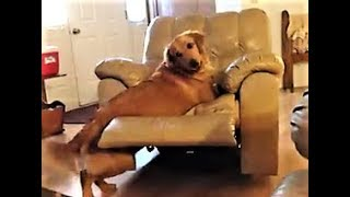 FUNNY GOLDEN RETRIEVER SPINS IN CHAIR!