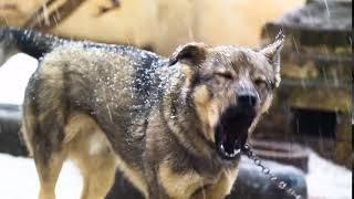 Собака гавкає і позіхає одночасно)