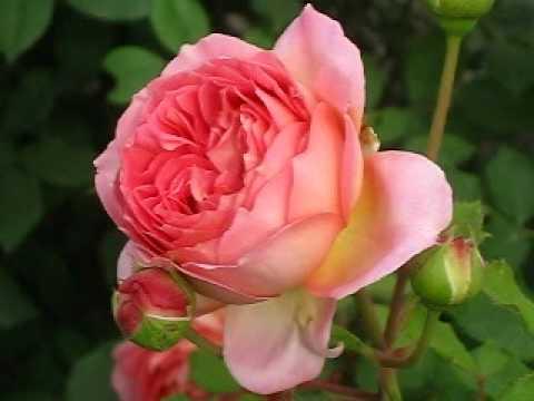 Роза Джубили Селебрейшин.  (Jubilee Celebration)