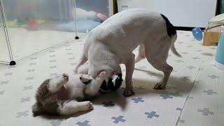 새끼강아지가 땡이한테 덤비다가 혼났어요!!