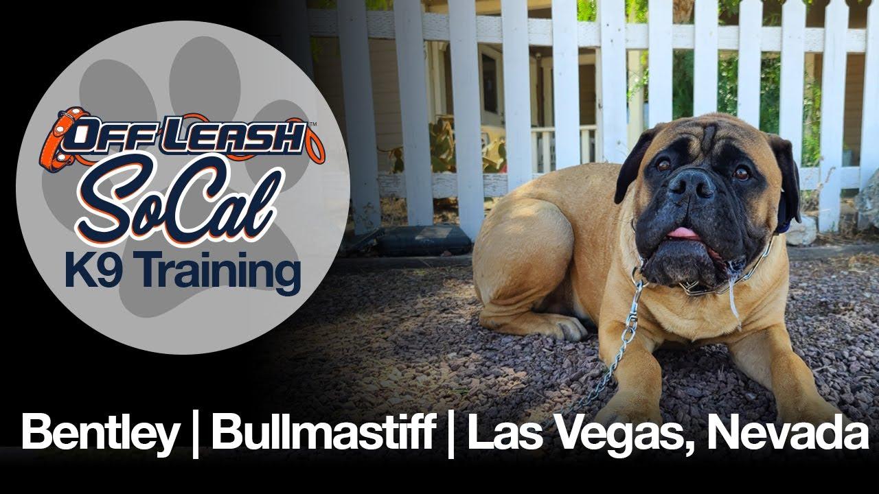 Bentley   Bull Mastiff   Las Vegas, NV