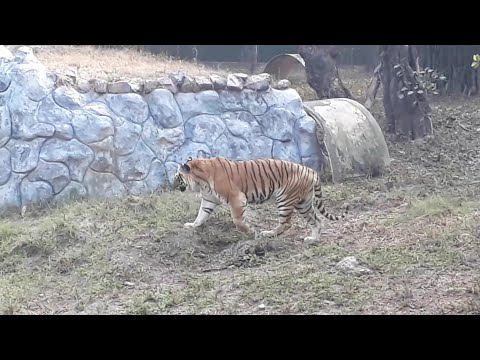 Tiger Video || Delhi Zoo || Latest Video